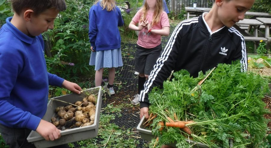 Harvesting-carrots-and-potatoes